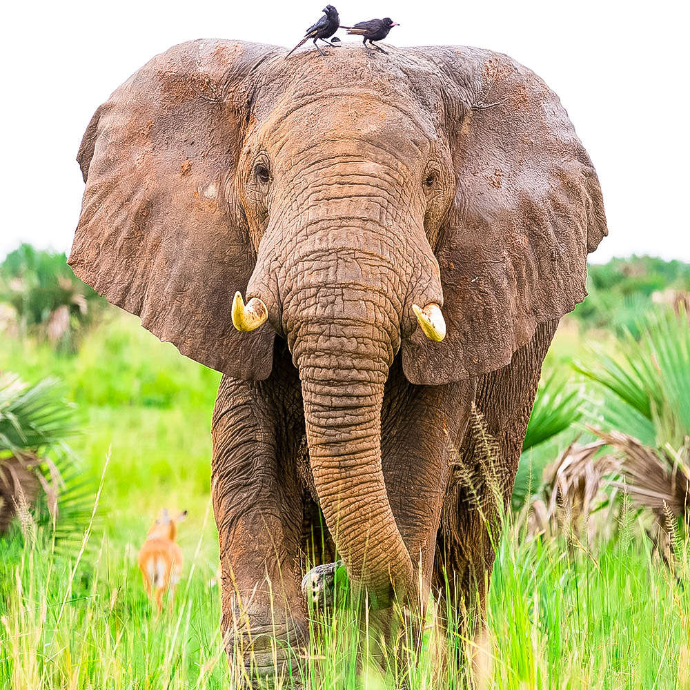- African Savannah Elephant