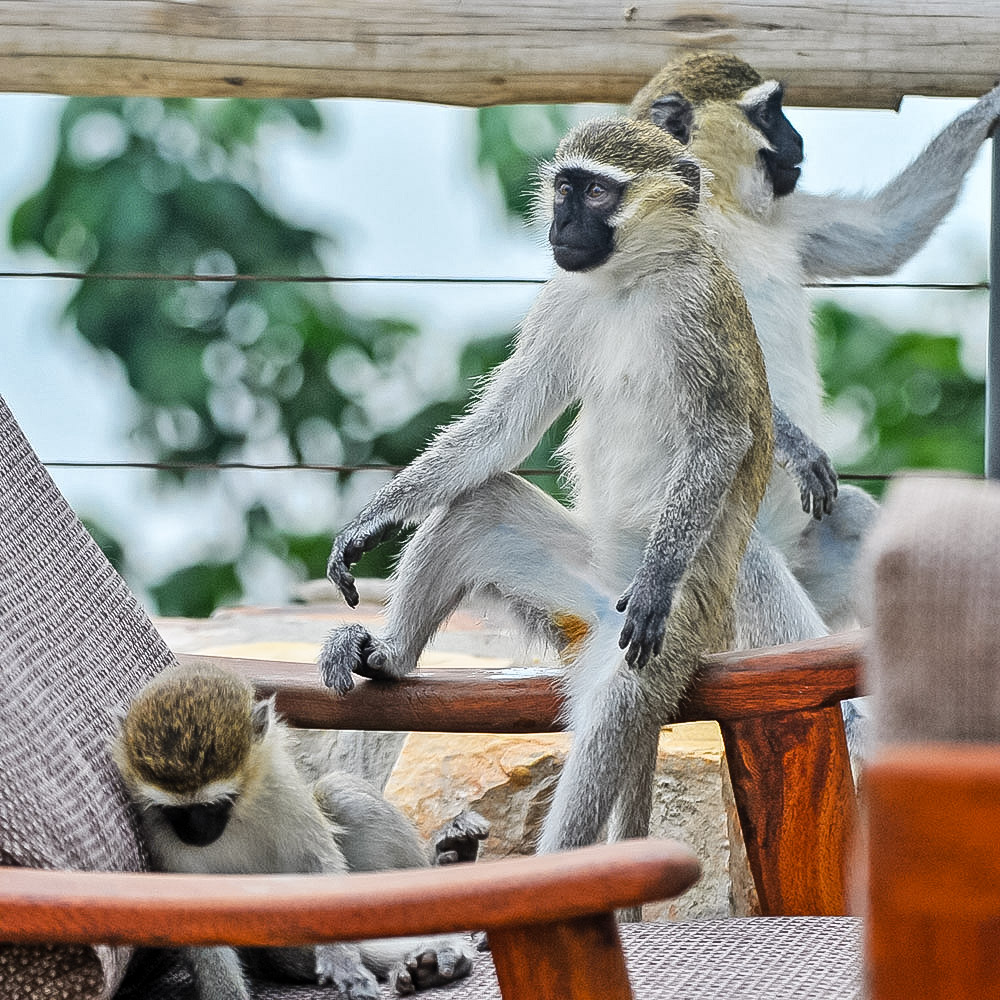 - Vervet Monkeys living in harmony with the Lodge